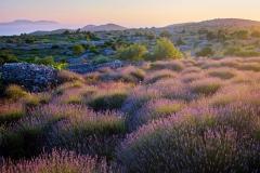 Lavender field on Hvar island, Croatia